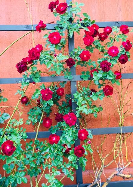 Very Old Climbing Rose