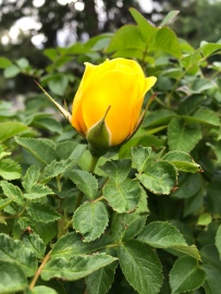 First Yellow Roses